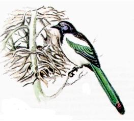 энциклопедия зимующие птицы республика хакасия список и рисунки.